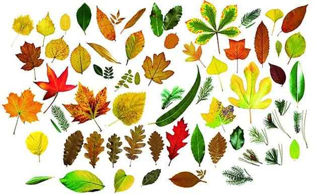 ¿Cuántas hojas de árboles eres capaz de identificar?   El